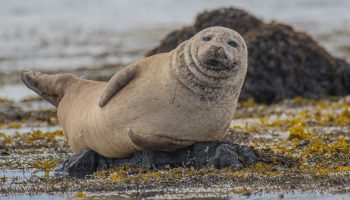 a seal lying down