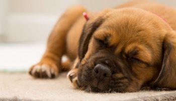 a sleeping dog