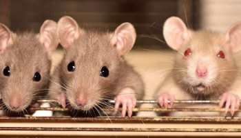 three mice in a cage