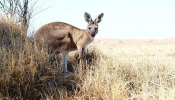 a kangaroo in a desert
