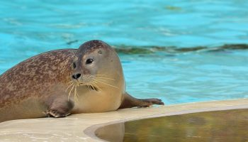 a seal in an animal attraction pool