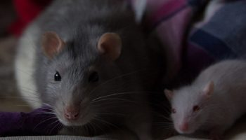 two rats, one large rat and one small rat