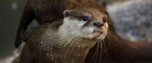 wet small clawed otter