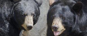 two large black bears