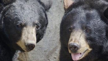 two large black bears