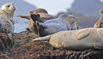 seals lying down on the beach