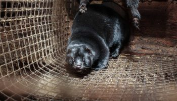mink production and cage system