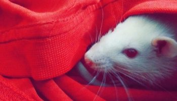 a rat under a red blanket