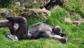 a chimpanzee basking in the sun on the grass