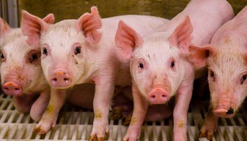 four dirty piglets stand on a plastic slatted floor