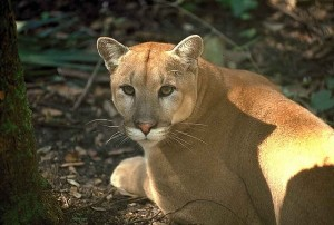 florida panther laying on the ground