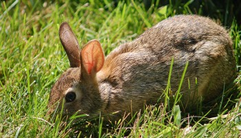Brown rabbit in grass