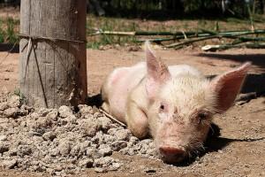 dirty piglet lying on rocky, dusty ground