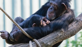 a mother and baby chimpanzee reclined against a branch wrapped in rope