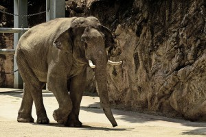 captive elephant walking on concrete floor