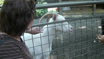a person reaches through a fence to pet a white goat