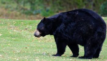 black bear in a grassy field