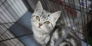 grey cat in black cage, looking up at camera