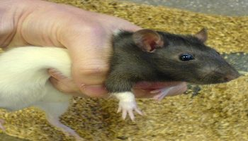 researcher holding a rat in his palm