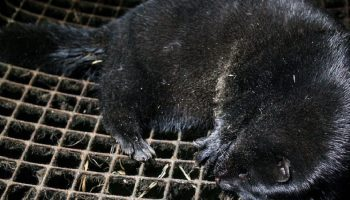 mink in a dirty cage
