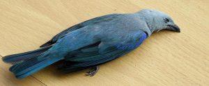 dead crow on a table