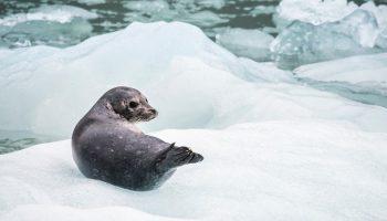 a seal on an iceberg