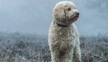 goldendoodle in winter mist