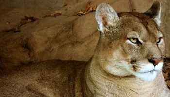 mountain lion in a cave