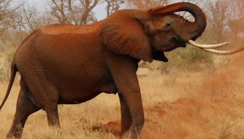 elephant spraying red dust over itself