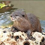 Anthropogenic and Seasonal Determinants of Giant Otter Sightings Along Waterways in the Northern Brazilian Amazon