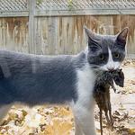 Quantifying Free-Roaming Domestic Cat Predation Using Animal-Borne Video Cameras
