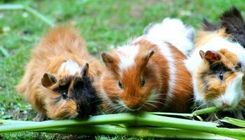 three guinea pigs sitting on grass and eating celery