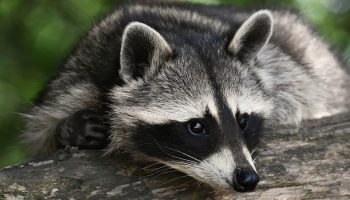 racoon lying on a tree in nature