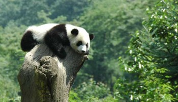 Impact of Livestock on Giant Pandas and Their Habitat