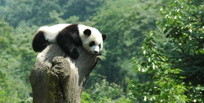 Impact of Livestock on Giant Pandas and Their Habitat ...