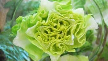 lettuce-Ano-Lobb
