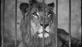 lion behind bars