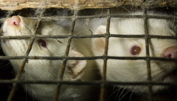Fur Farming: Bad for Mink, Bad for the Environment
