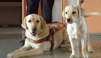 a yellow lab in a guide dog harness laying next to a yellow lab puppy on a leash