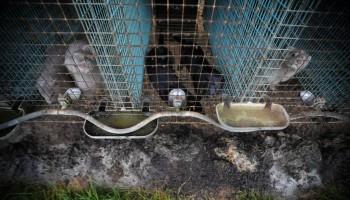 Majority of Swedes Oppose Fur Farming