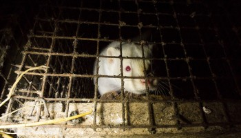 Making The Case Against Fur Farming