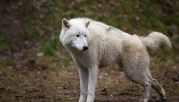 Wolves Are Better Than Dogs At Imitating Each Other