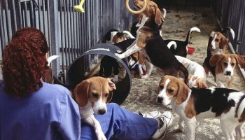 Relying On Male Animals For Data: A Review Of Surgical Animal Experiments