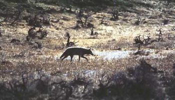 Conservation And 'Placeholder' Species: A Case Study With Coyotes