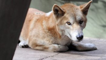 Living With Dingoes
