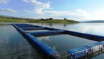 Fish Farm Escapes May Be Worse Than We Think
