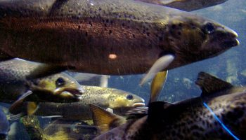Atlantic Salmon And 'Humane' Slaughter