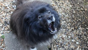 The Meaning Of Barking: Communication Between Dogs