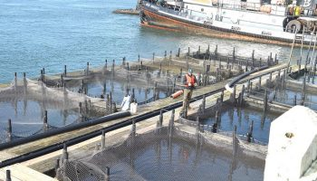 The Welfare of Salmon During Net-Pen Roundups