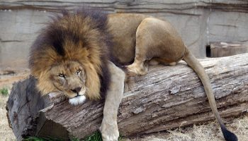 Why Do Captive Lions Die Young?